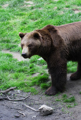 Big brown bear standing on the grass