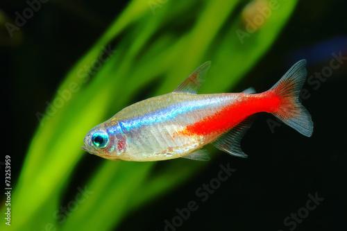 Neon tetra fish - 73253959