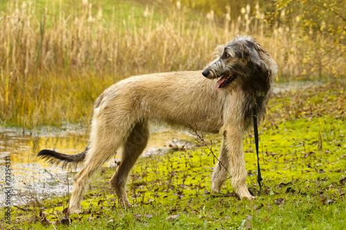 Fotobehang Wolf Wolfshund vor Schilf