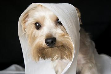 Small mischivous dog