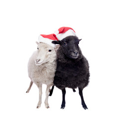 Portrait Of sheep in christmas hat On White
