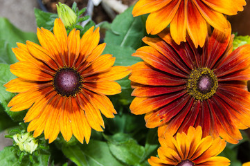 Orange and red daisy flowers