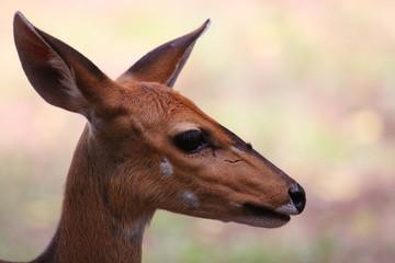 antilope di bosco parco del kruger sudafrica