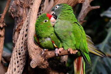 A parrot couple snuggle up to one another in the gardens.