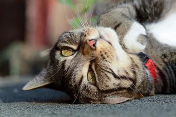 Tabby cat upside down portrait