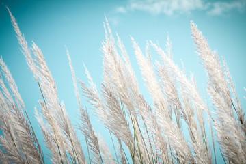 softness white Feather Grass with retro sky blue
