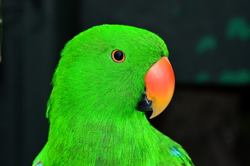 Eclectis parrot known as Lil E