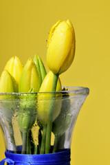 beauty, flower, stil life, tulips, yellows. home