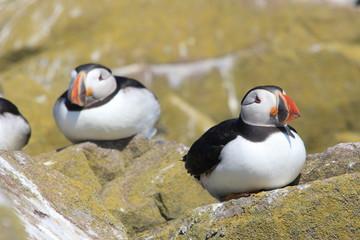 pulcinella di mare uccello marino scogliera isole farne scozia