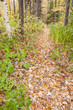 Forest path, leafy track amongst birch trees.