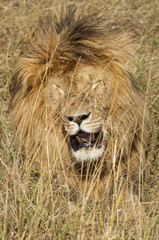 East African Lion (Panthera leo nubica)