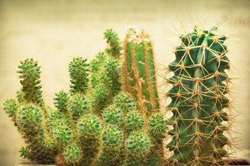 cactus plant with thorns. Photo toned in yellow