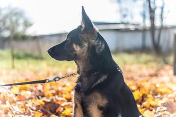 German shepherd, in autumn leafs