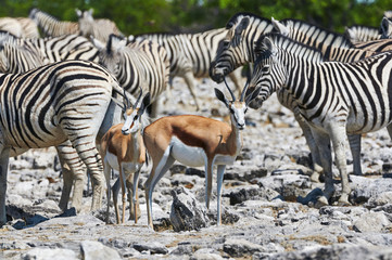 Zebras and Springboks near a waterhole