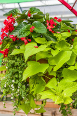 Hanging basket with green vine and begonias