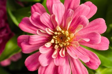Pink Zinnia flower showing petals