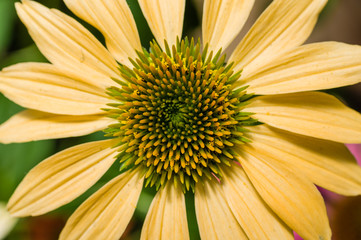 Yellow Echinacea flower in bloom
