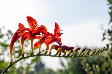 Crocosmia flower in bloom backlit