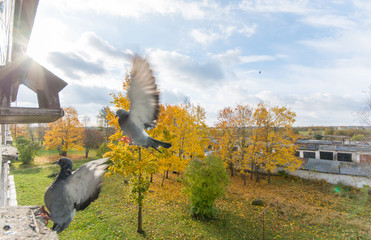 Pigeons, colorful autumn