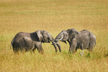 Fight between two male elephants