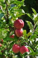 Apfelbaum Südtirol Vinschgau