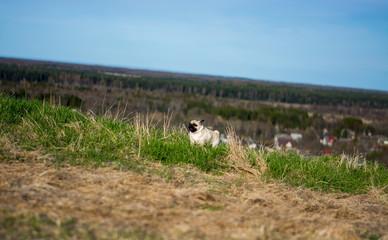 Pug puppy dog, funny portrait