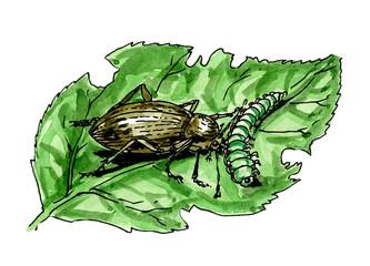 Ground beetle. A plant pest. Botany