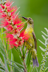 Portrait of Plain Sunbird(Anthreptes simplex)