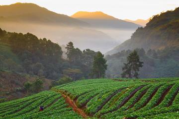 Morning sunrise in strawberry garden at Doi Ang-khang mountain,