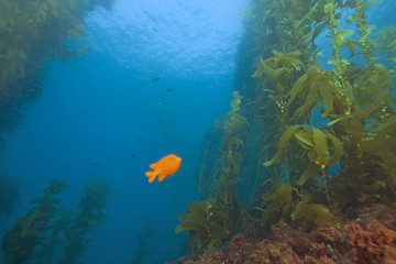 Garibaldi fish underwater at California reef