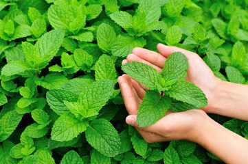 hands protect mint plants in vegetable garden