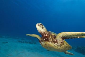 Hawaii Turtle Swimming at Coral reef