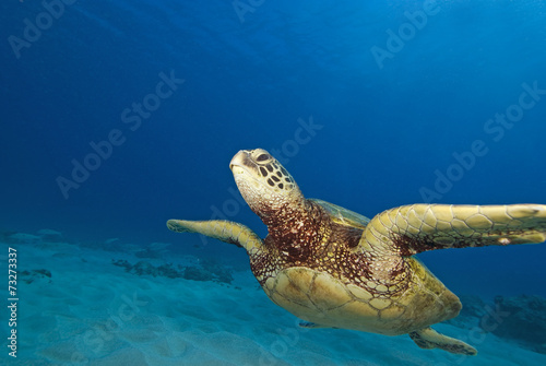 Foto op Canvas Schildpad Hawaii Turtle Swimming at Coral reef