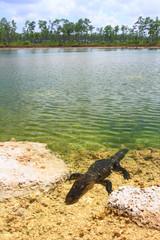 Florida Everglades American Alligator