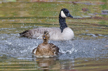 Female Duck Playfully Spalshing a Canada Goose