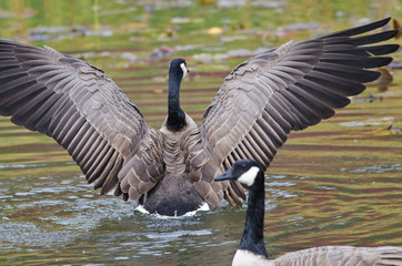 Canada Goose with Outstretched Wings