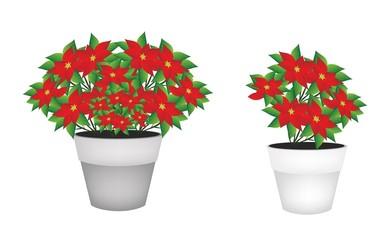 Exotic Red Poinsettia Flower in Flower Pot