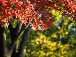 黄葉背景の紅い楓