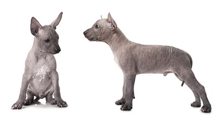 One and half month old xoloitzcuintle puppy