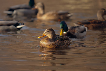 Ducks in the rays of the sun.