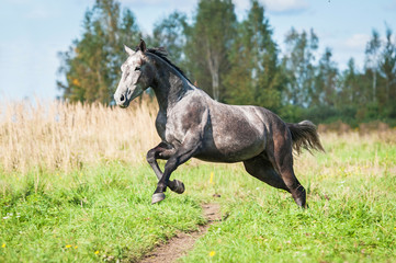 Grey horse running on the pasture