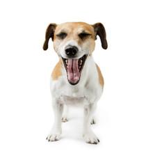 screaming dog