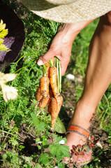 jardinage - écolte de carottes