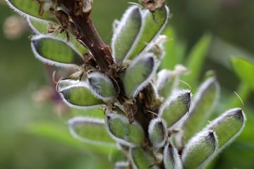 Samenstand einer Lupine