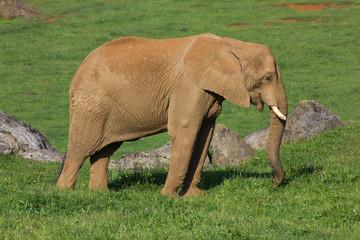 Elefante Africano. Loxodonta africana. Cabárceno, Cantabria.