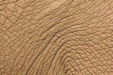 Piel rugosa de Elefante Africano. Loxodonta africana.