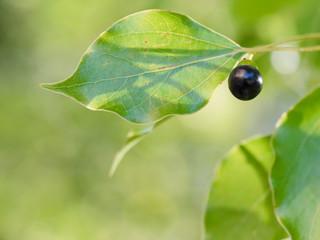 楠の紫黒の実
