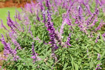 purple salvia flowers in nature