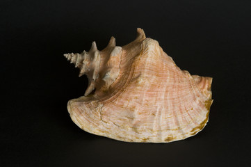 Conch shell. A protected species.
