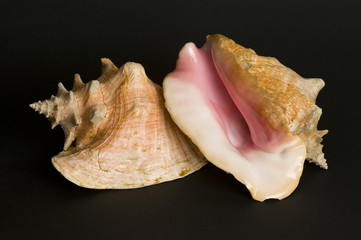 Conch shells. A protected species.
